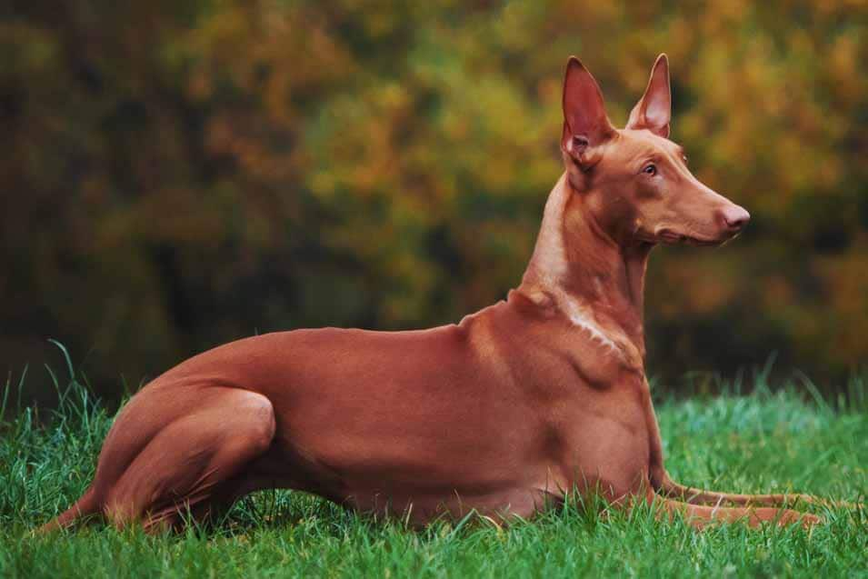 Picture of a Pharaoh Hound