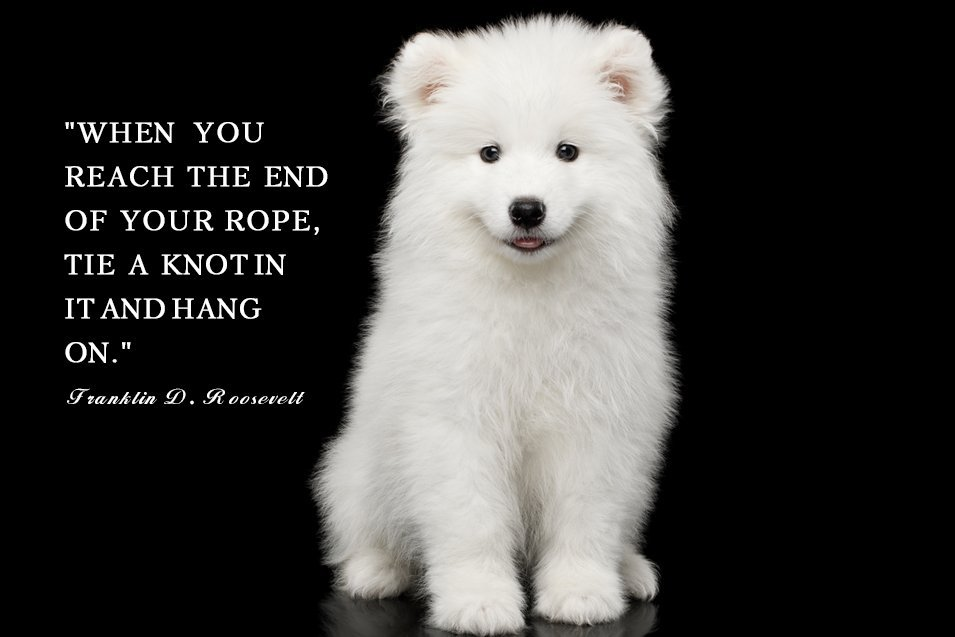 Picture of a Samoyed on black background