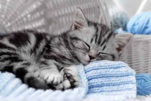Picture of a Grey Tabby Kitten