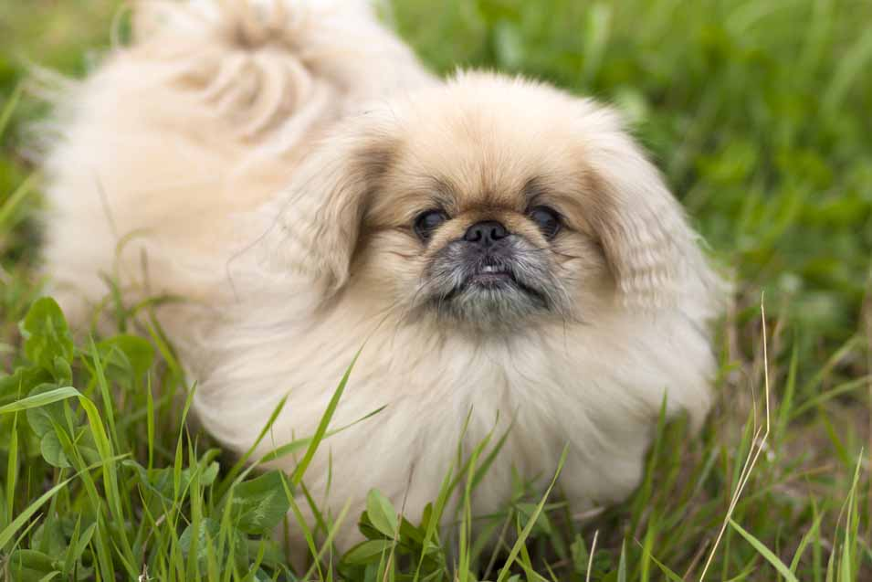 Picture of a Pekingese
