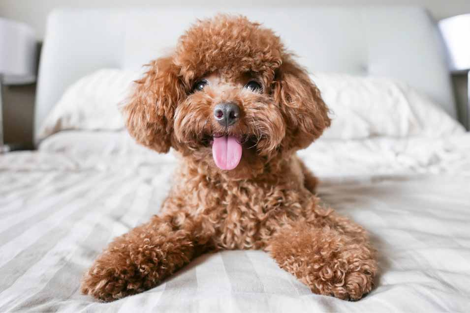 Picture of a poodle on a bed