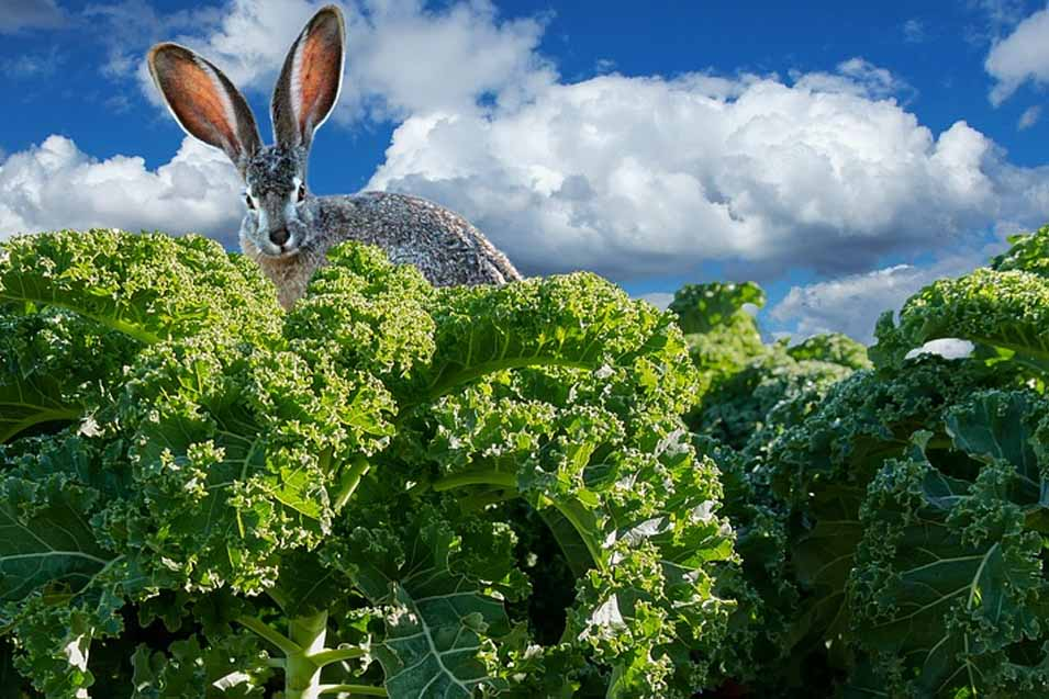 Picture of a bunny in kale