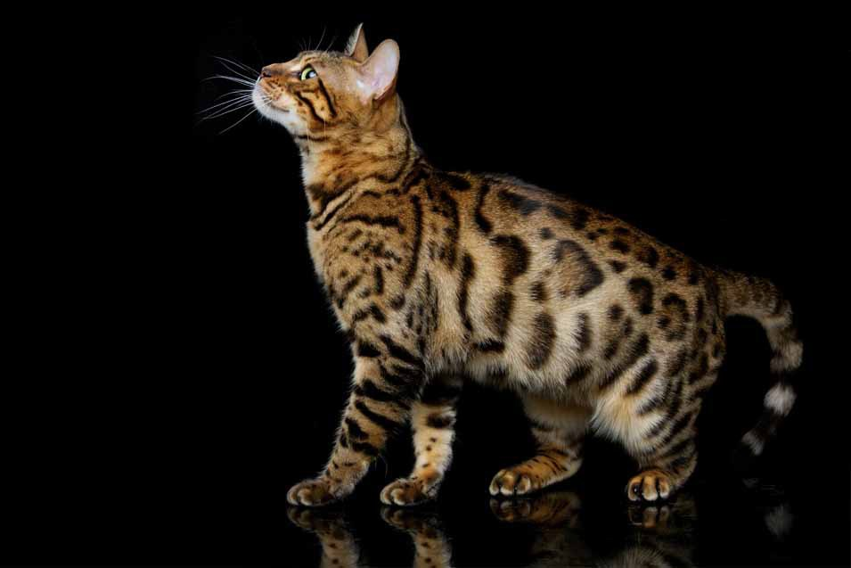 cat breeds with a primordial pouch