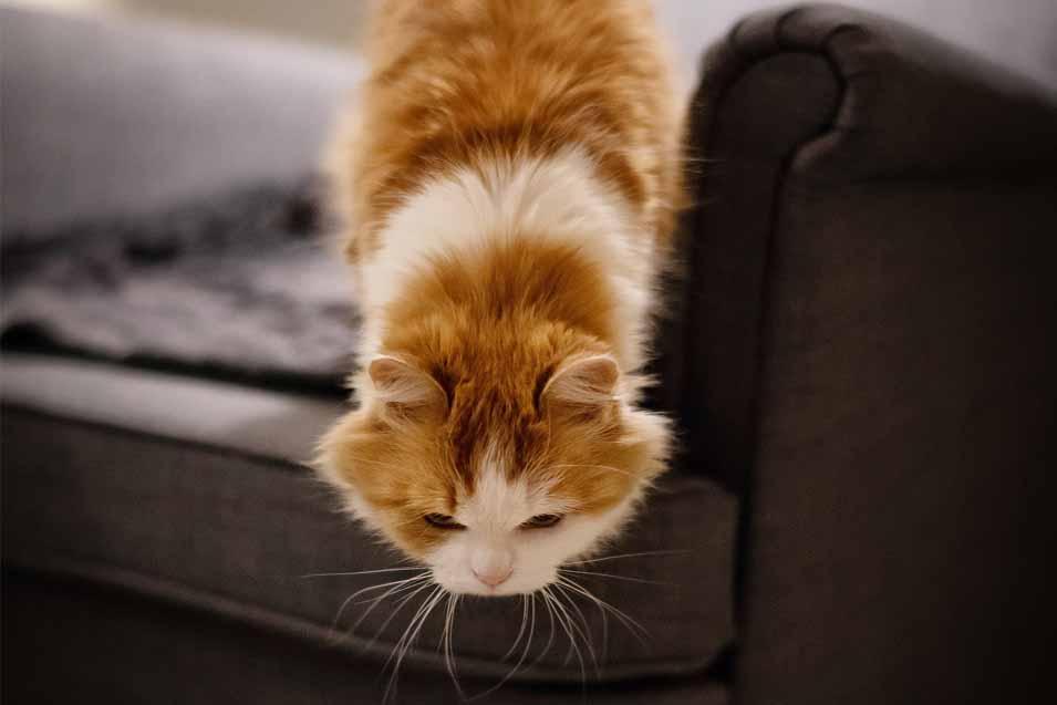 Do cats always land on their feet