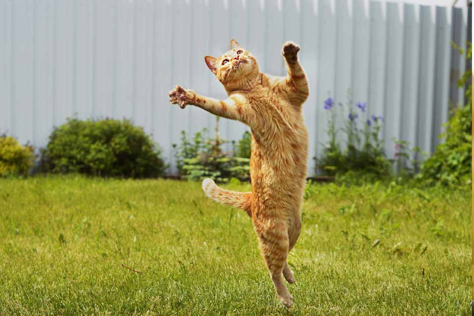 Picture of a cat jumping in the air