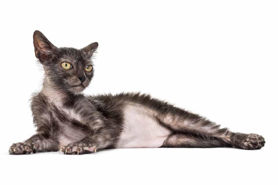Lykoi Cat Trivia