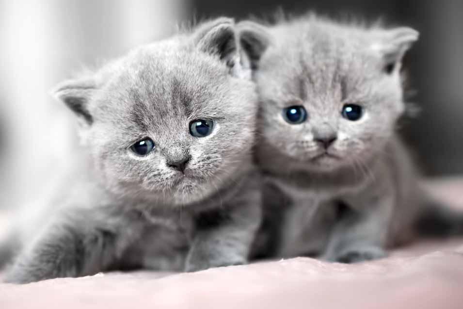 British Shorthair Flat Faced Cats
