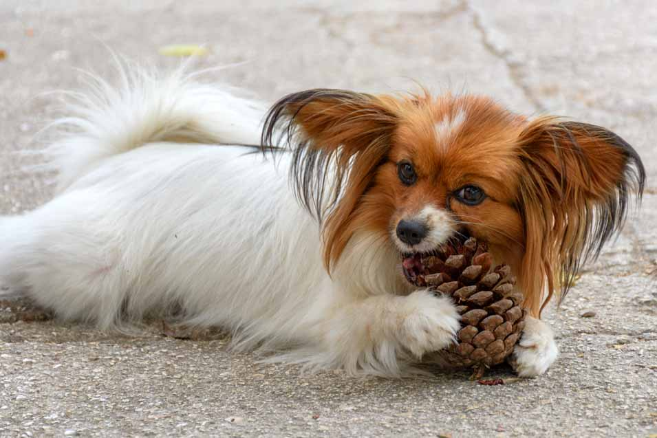 can dogs have pine cones