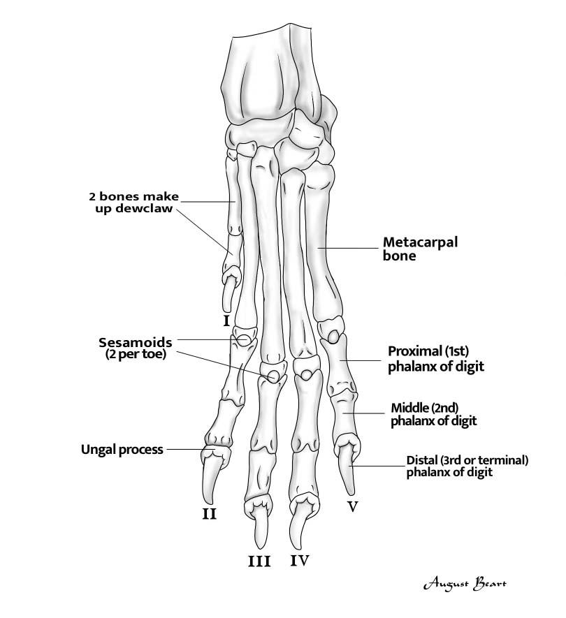 dewclaws diagram