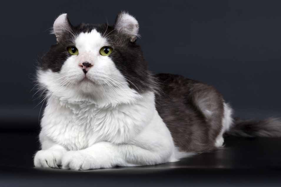 Cost of an American Curl Cat