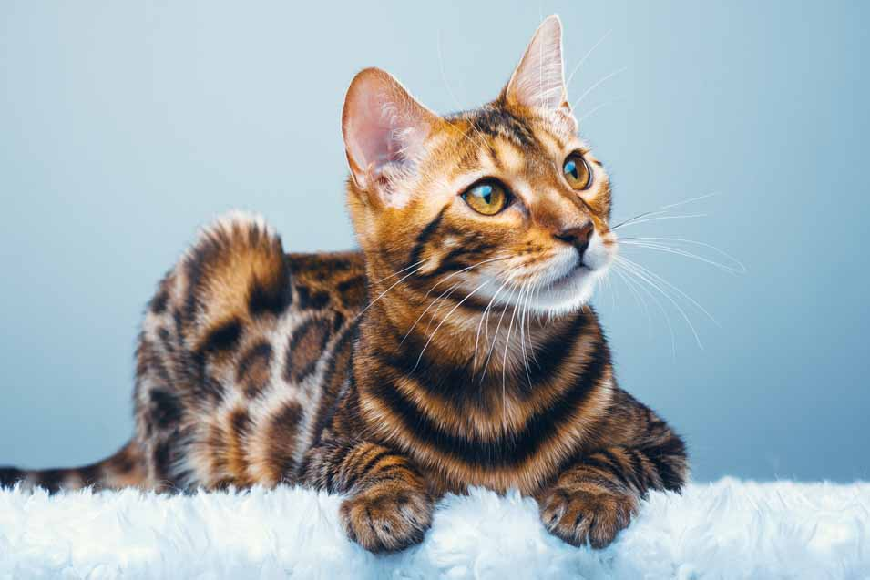 Cost of a Bengal Cat