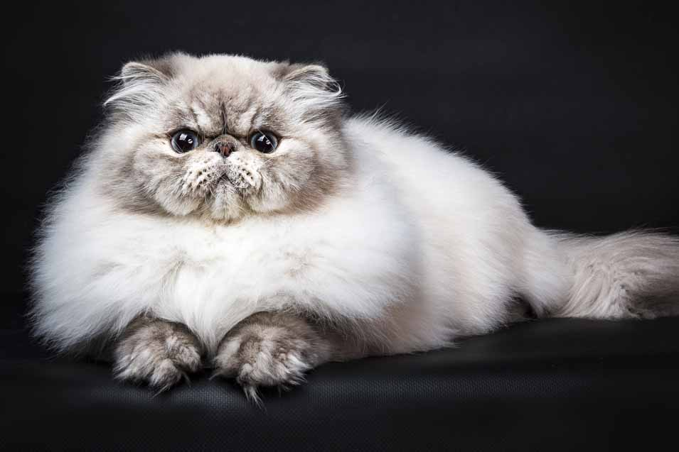 Cost of Persian Cat