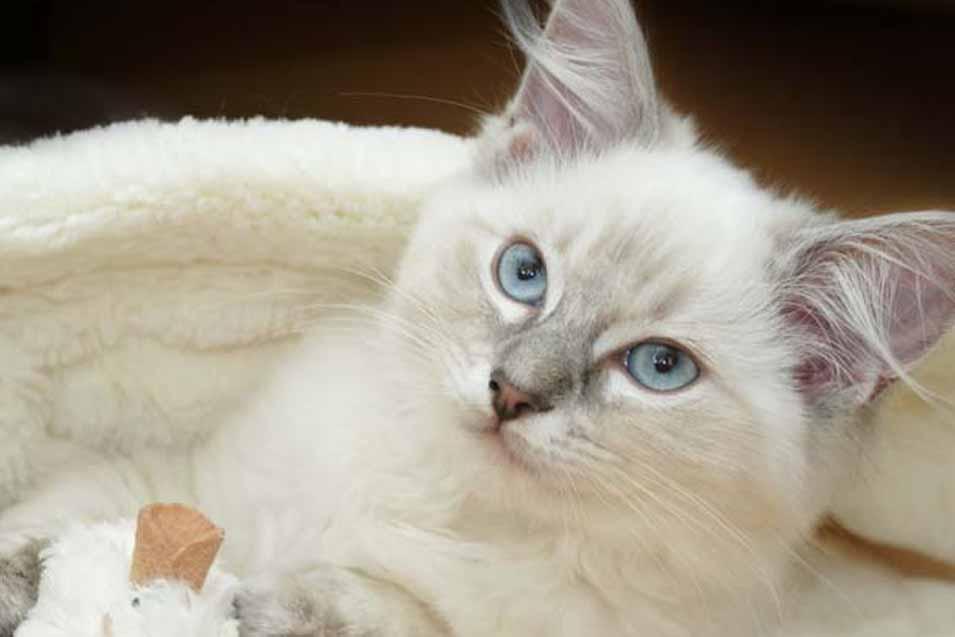 Cost of a Ragdoll Cat