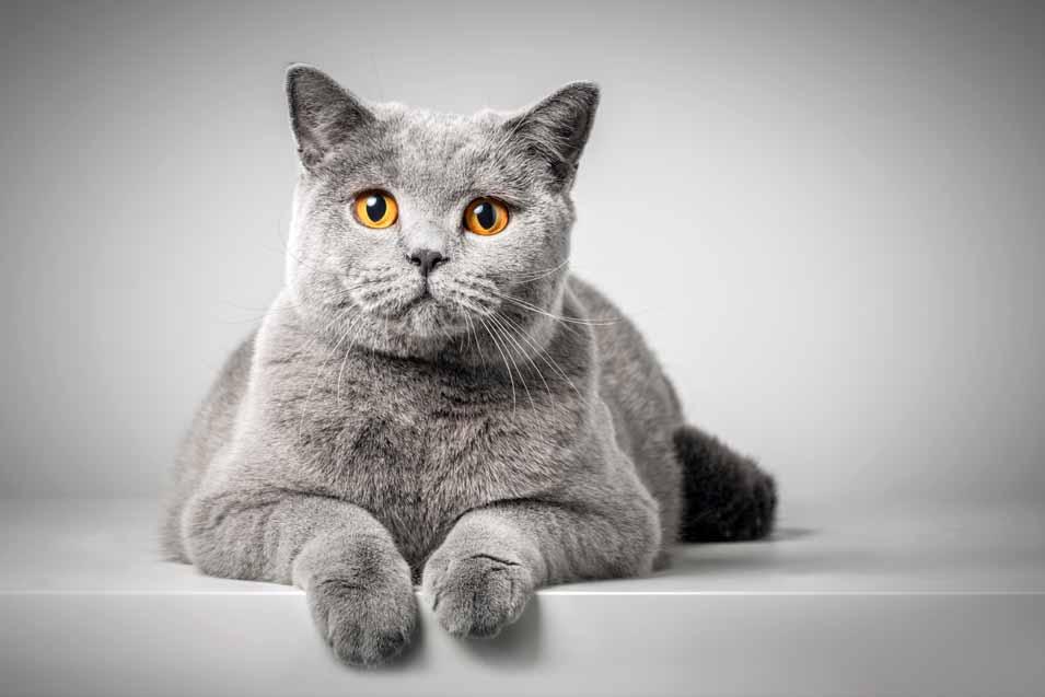 Cost of British Shorthair Cat