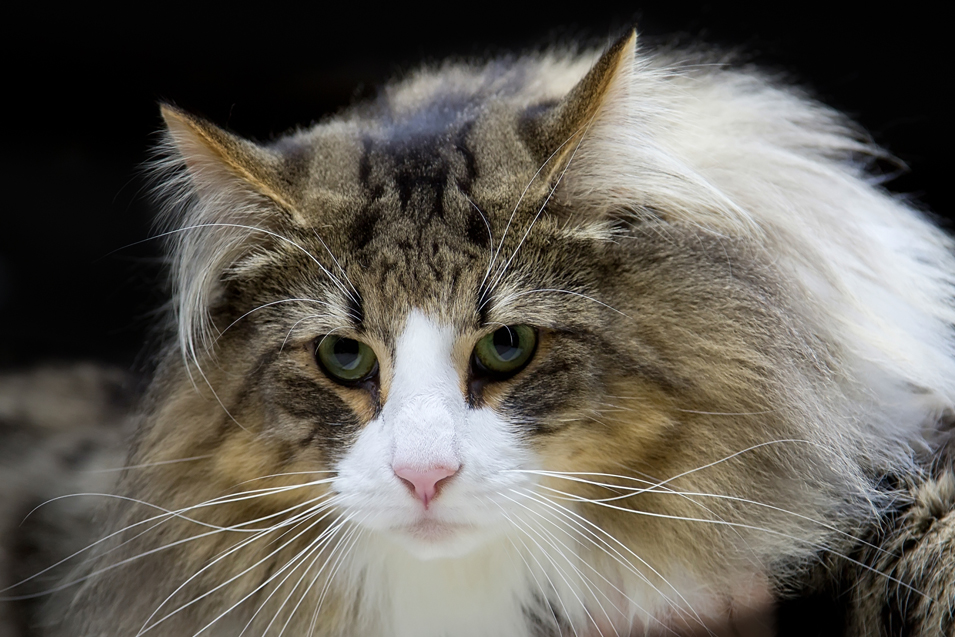 Cost of a Norwegian Forest Cat