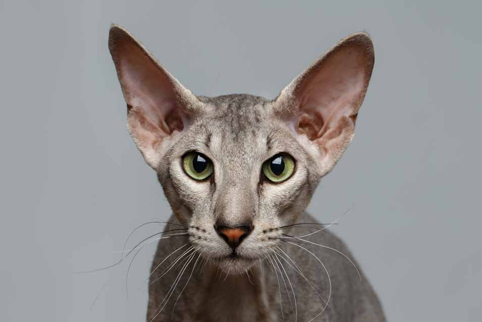 Cost of a Peterbald Cat