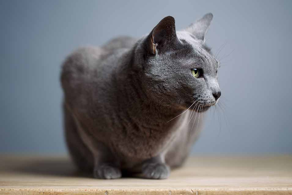 Cost of a Russian Blue Cat