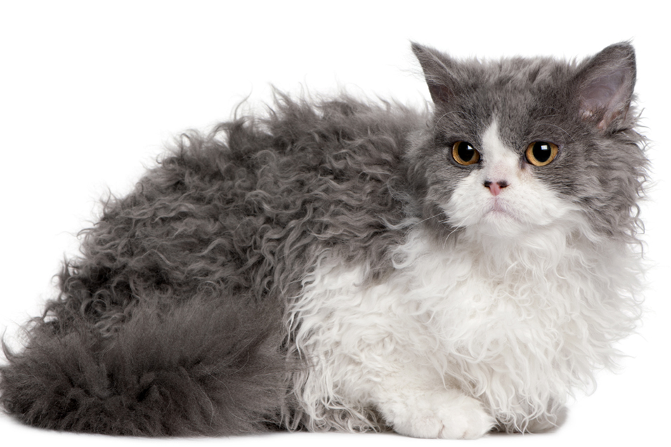 Cost of a Selkirk Rex Cat