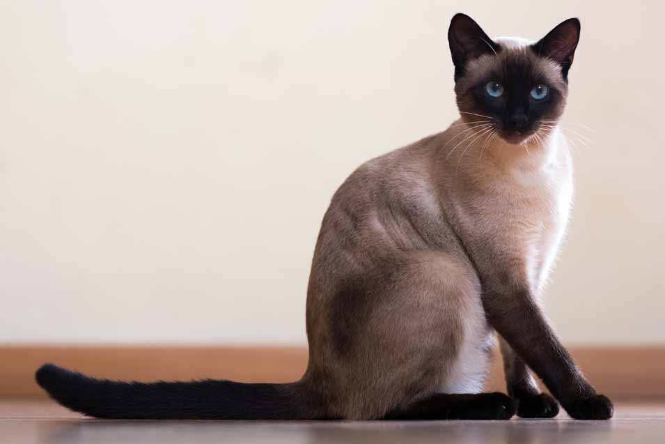 Cost of a Siamese Cat