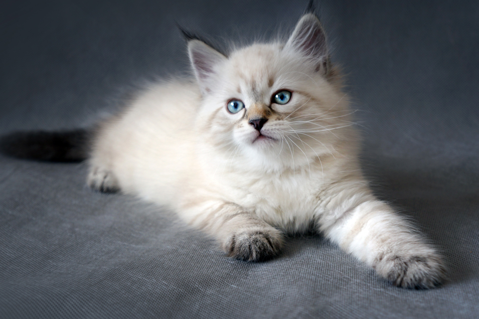 Cost of a Siberian Cat