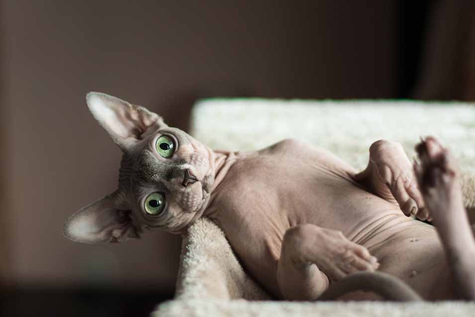 Cost of a Sphynx Cat