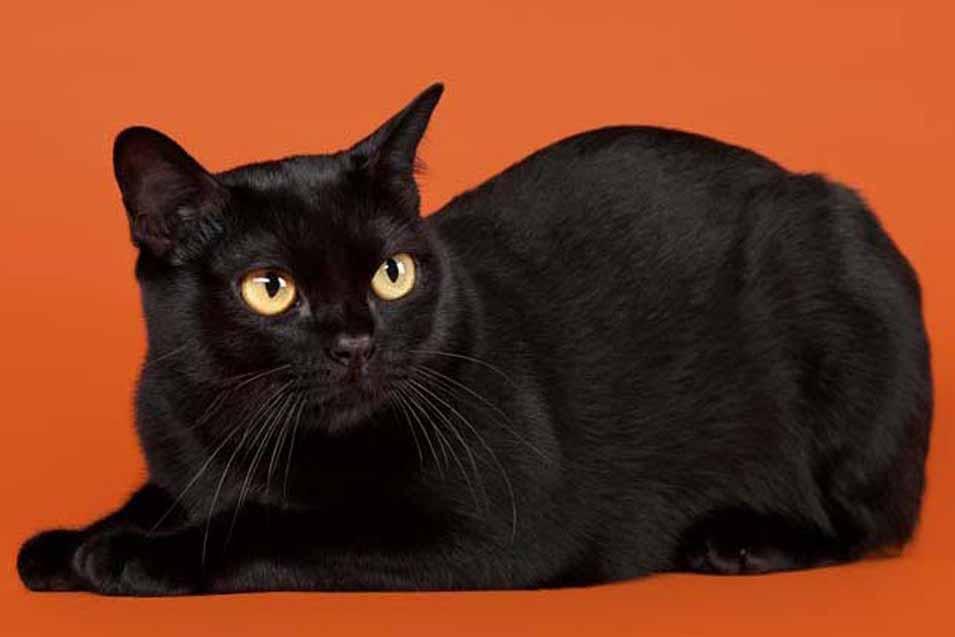 Flat faced bombay cat