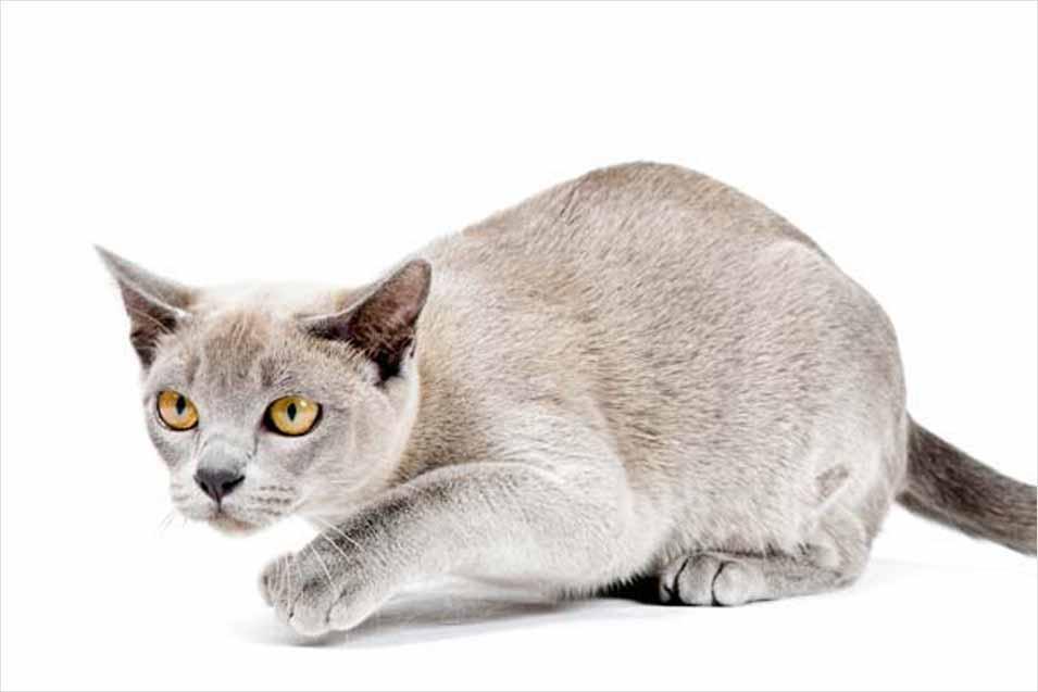 Flat Faced Burmese Cat