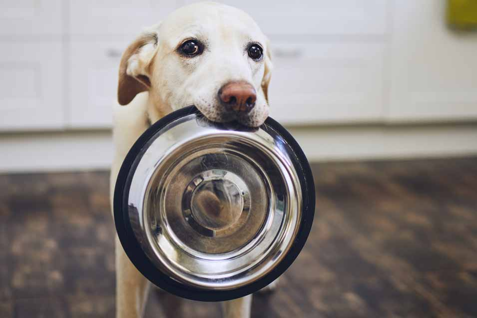 dog constantly asks for more food