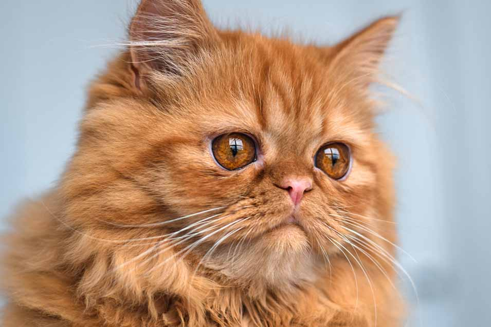 Persian Cat with a flat face